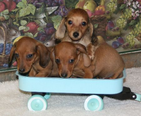 Doxies in a wagon