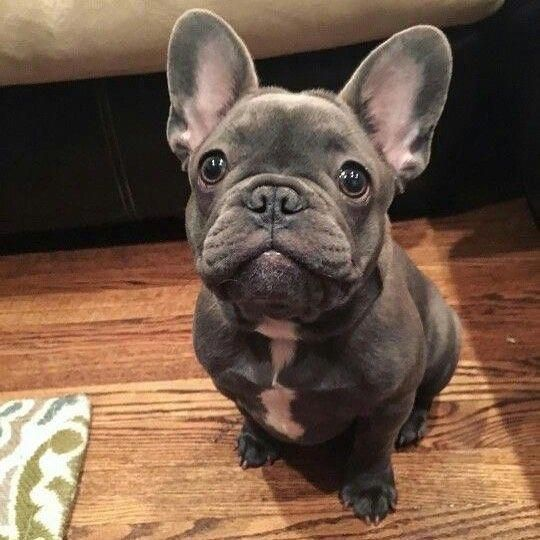 Sweet Lil Frenchie Bulldogpuppies French Bulldog