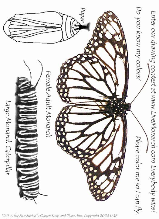 Monarch Butterfly Coloring Page Elegant 28 Monarch Butterfly Life Cycle Coloring Page From Color Butterfly Coloring Page Monarch Butterfly Butterfly Life Cycle