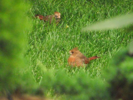 Cardinal babies too!: Babies, Cardinal Babies, On A Wing, Cardinals