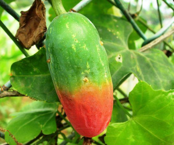 Coccinia grandis - Ivy gourd