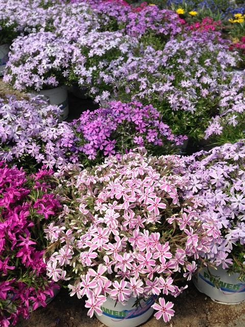 Creeping Phlox - A Delicate beauty but a Powerful Performer!