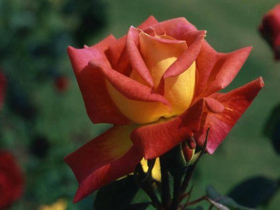 Beautiful coloured Rose.