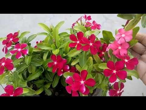 Vinca Periwinkle Flower In 2020 Periwinkle Flowers Diy Plant Hanger Flowers