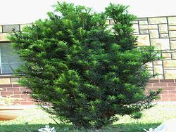 Taxus baccata (hábito).