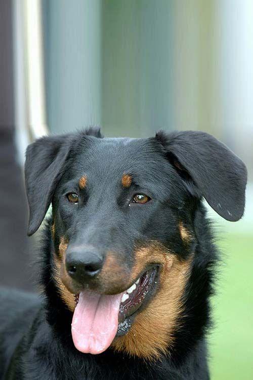 Beauceron Dog Breed Information Dog Breeds Sheep Dog Puppy