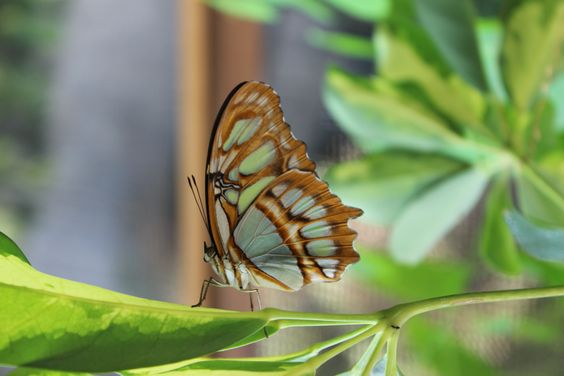 Dieser Falter Verdankt Seinem Namen Seiner Farbahnlichkeit Zum Mineral Malachit Im Schmetterlingshaus Der Biosphare Potsdam Schmetterlingshaus Tropen Potsdam