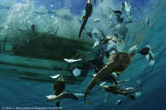 THESE FISH COULD HAVE LIVED!  Bycatch being tossed back into the water by a trawler.  A major byproduct of trawling with destructive nets.