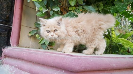 Persian Kittens For Sale Persian Kittens For Sale Persian Kittens Persian Cat Doll Face
