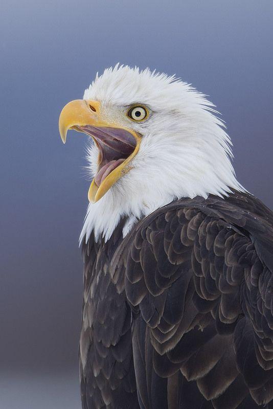 Eagle Screaming | by www.studebakerstudio.com