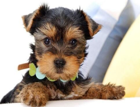 Cute Puppy Diamond Painting Yorkie Names Yorkie Yorkshire Terrier