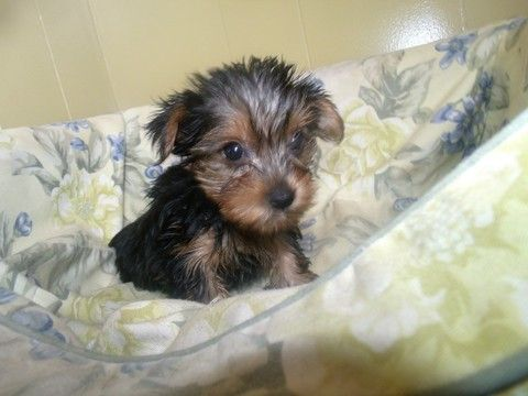 Yorkshire Terrier Puppy For Sale In Paterson Nj Adn 65297 On Puppyfinder Co Yorkshire Terrier Puppies Yorkie Yorkshire Terrier Yorkshire Terrier Puppy Yorkie