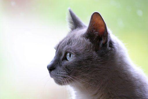 Cat Pet Animal Grey Pets Beautiful Cats Animals