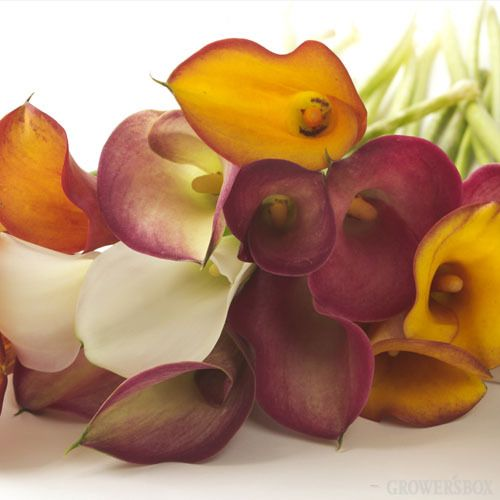 Mini-Calla Lilies are a fun way to add color to bouquets and arrangements of wholesale flowers and wedding flowers. These charming  wholesale flowers are available year-round from growing regions in Central and South America, as well as the United States. Available in a wide variety of different colors, Mini-Calla Lilies are affordable when bought in bulk and look great as decorations for weddings and events. Shop online at www.GrowersBox.com.