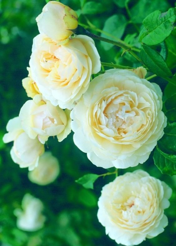 David Austin English rose Windermere