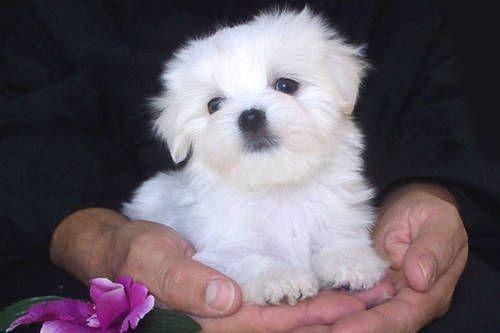 Teacup Maltese Puppies Maltese Puppy Puppies