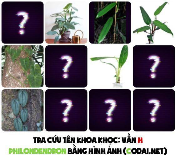 Tra cứu nhanh tên khoa học các loài Philodendron bằng hình ảnh: Philodendron bắt đầu bằng vần G