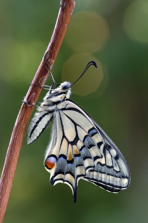 Lingen Papilio Machaon Butterfly