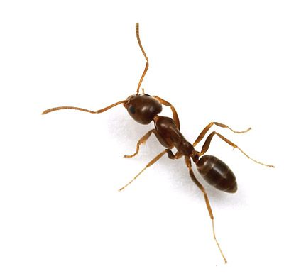 How do you identify the Argentine Ant? Follow the link to learn how. Photo and blog by Alexander Wild.