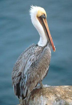 brown pelican - It has been  seen in many of  the Gulf coast beaches.  Galveston Island, High Island Beach & Crystal Beach in South East Texas.