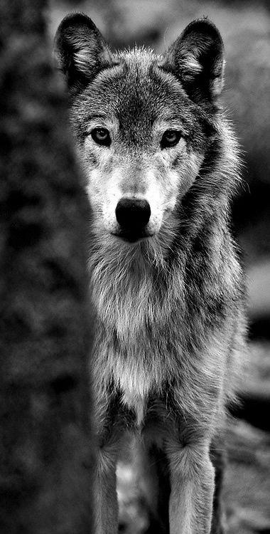Qui a dit que les loups sont méchants ??? Que de tendresse dans ce regard.....