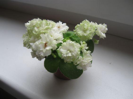 Irish Flirt(полумини).Стартёр цветёт впервые.Фото моего цветения.Очень порадовал.