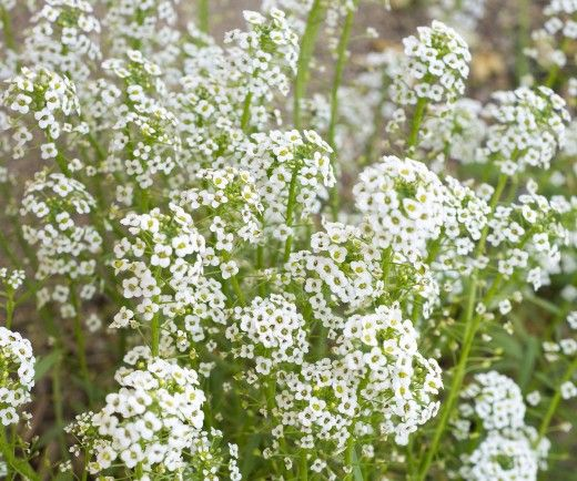 How To Grow Baby S Breath Or Gypsophilia With Images Cat Safe Plants Plants Baby S Breath Plant