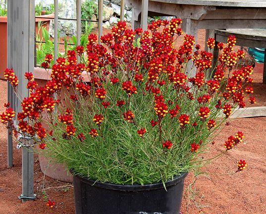 Linaria Reticulata 39 Flamenco 39 Scented Drought Tolerant