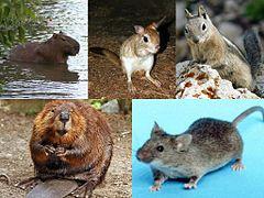 Alguns exemplos de roedores das apróx. 2000 espécies existentes deles.  Como se classificam esses mamíferos? Y que outros grupos podem ser confundidos com eles?
