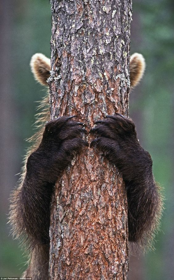 This is the incredible moment a bear appears to play 'peekaboo' with a…