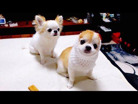Chihuahua S おしゃれまとめの人気アイデア Pinterest Elvie Quinones チワワ 笑い 笑