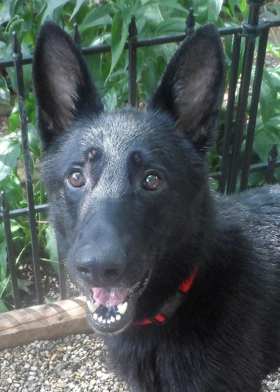 Roy is an adoptable German Shepherd Dog searching for a forever family near Urbana, IL. Use Petfinder to find adoptable pets in your area.