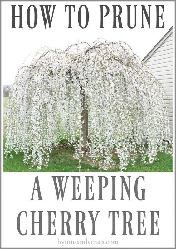 40 Easy To Follow Tips For How Weeping Cherry Tree Weeping Trees Cherry Trees Garden