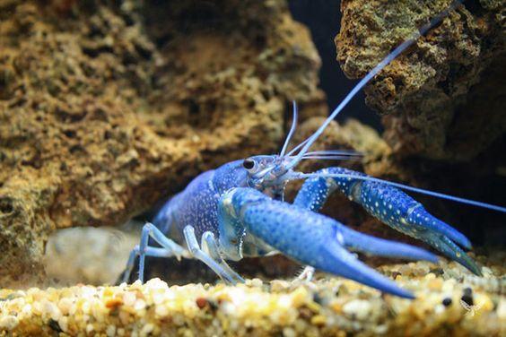 Es langosta americana y tiene este color debido a la mutación genética que ha hecho todo azul.