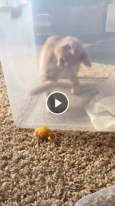 Gatinho preso no aquário Brincando