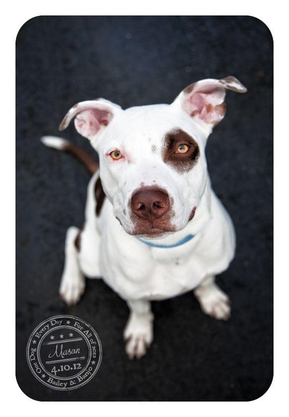 Mason - April 10 - Adoptable Pitbull...see post for details
