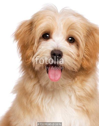 """Beautiful happy reddish havanese puppy dog is sitting frontal"" Stockfotos und…"