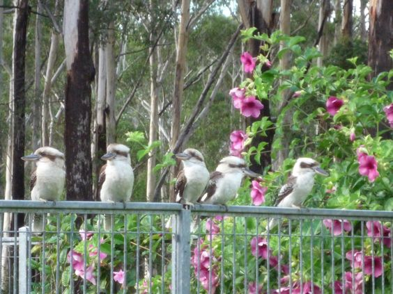 Aunty Nancy's kookaburras