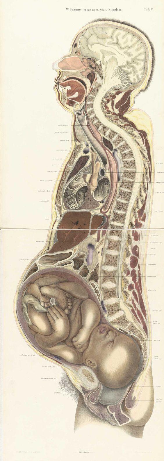 Pregnant female body cross section by Wilhelm Braune