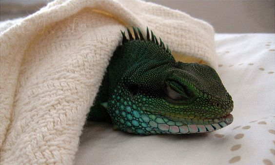 Lizards Archives   Page 3 of 7   Backwater Reptiles Blog furthermore Lizards Archives   Page 3 of 7   Backwater Reptiles Blog also The Most Colorful Pet Lizards also Lizards Archives   Page 4 of 7   Backwater Reptiles Blog in addition Anole Annals   Your source for the latest on Anolis lizards    Page likewise What do leopard geckos eat Archives   Backwater Reptiles Blog likewise Lizards Archives   Page 3 of 7   Backwater Reptiles Blog moreover  further Bearded Dragon Archives   Backwater Reptiles Blog in addition Lizards Archives   Backwater Reptiles Blog furthermore . on lizards archives page of backwater reptiles blog
