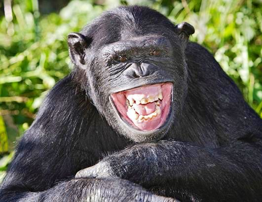 Chimpanzee smiling for the camera | CHEEKY CHIMPANZEES ...