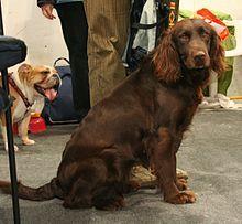 German Spaniel - A.k.a. Deutscher Wachtelhund, Deutscher Wachtel, German Quail Dog - Germany. Hunting