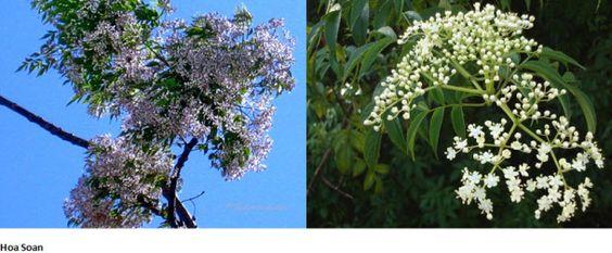 Hoa xoan và sầu đâu cùng họ xoan nhưng sầu đâu ăn được còn xoan thì có độc