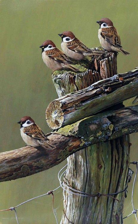 Gorriones | Birds, Bird drawings, Bird pictures