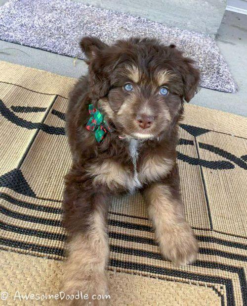 Pin By Lori Schaefbauer On Animals In 2020 Cockapoo Dog Aussie Doodle Puppy Puppies