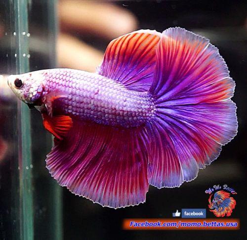 Live Betta Fish Male Pink Purple Haflmoon Hm 143 Betta Fish Betta Fish