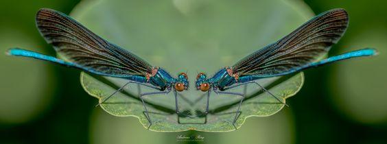 Pas de deux - männliche  Blauflügel-Prachtlibelle