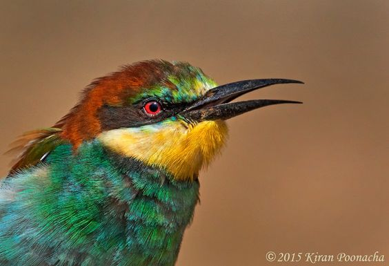 This ia a close up of an EUROPEAN BEE EATER. These beautifully plumaged birds visit India from Europe during winter. They have a more uniformly colored plumage during the breeding season back at home. when they are holidaying here, they might be a bit duller in color but have patterns of colors like our saris. – foto de Kiran Poonacha Photography