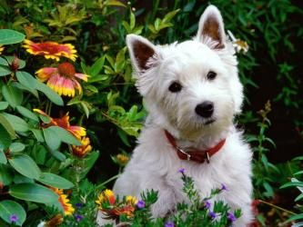 Adult West Highland White Terrier