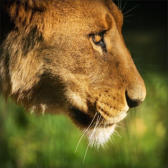 Lion - The Lion